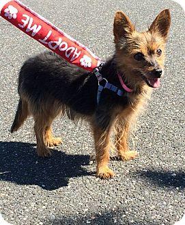 Yorkie, Yorkshire Terrier Mix Dog for adoption in Freeport, New York - Mitzshee