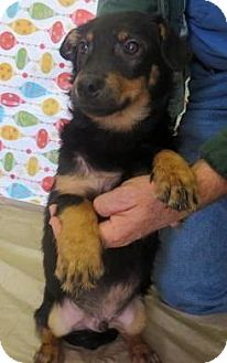 Chihuahua/Dachshund Mix Dog for adoption in Woodlyn, Pennsylvania - Murry