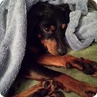Adopt A Pet :: Scooby - Homewood, AL