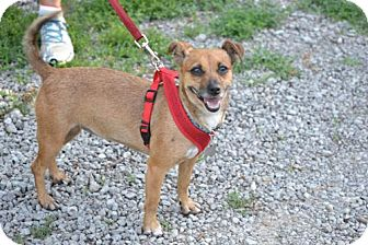 Chihuahua/Miniature Pinscher Mix Dog for adoption in Parkville, Missouri - Maris