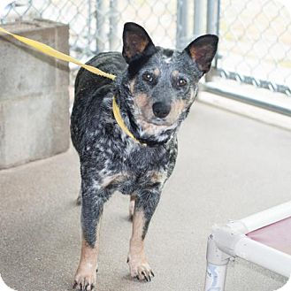 Blue Heeler Dog for adoption in New Martinsville, West Virginia - Teresa