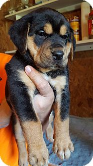 Bloodhound/Black and Tan Coonhound Mix Puppy for adoption in Allentown, Pennsylvania - Penelope