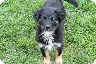 German Shepherd Dog/Flat-Coated Retriever Mix Puppy for adoption in Naperville, Illinois - Brandy