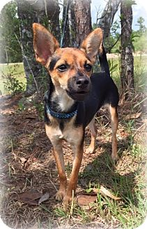 Chihuahua Mix Dog for adoption in Groton, Massachusetts - Bailey