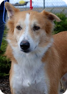 Canaan Dog Mix Dog for adoption in Hayden, Idaho - Andy