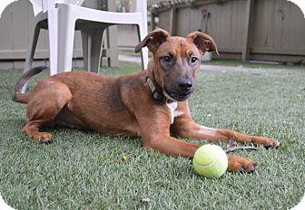 Shepherd (Unknown Type) Mix Dog for adoption in Gainesville, Florida - Anubis