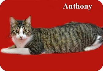 Domestic Shorthair Cat for adoption in Green Cove Springs, Florida - Anthony