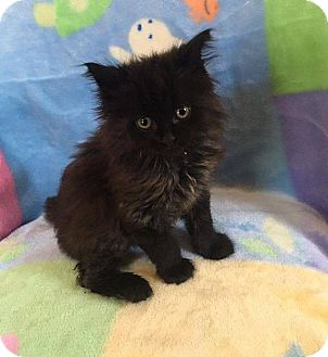 Domestic Longhair Kitten for adoption in Mansfield, Texas - Cinder-Ella