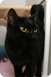 Domestic Shorthair Cat for adoption in Erwin, Tennessee - Grace