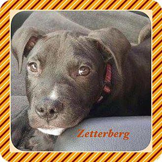 Labrador Retriever Mix Puppy for adoption in Warren, Michigan - Zetterberg