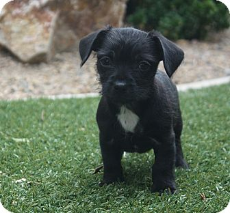Terrier (Unknown Type, Small)/Skye Terrier Mix Puppy for adoption in Henderson, Nevada - Mork