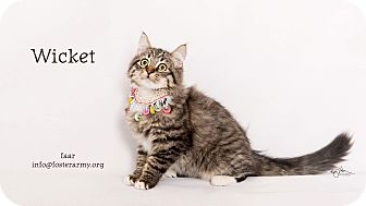 Maine Coon Kitten for adoption in Riverside, California - Wicket