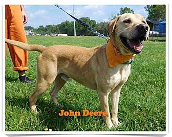 Labrador Retriever/Golden Retriever Mix Dog for adoption in St. Francisville, Louisiana - John Deere