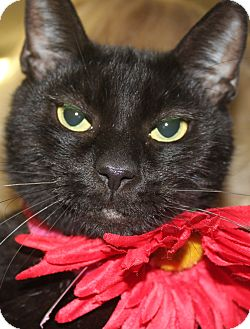 Domestic Shorthair Cat for adoption in Clayton, New Jersey - JINGLES