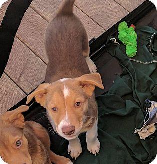 Australian Shepherd Mix Puppy for adoption in Apache Junction, Arizona - Reece