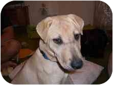 Labrador Retriever/Shar Pei Mix Puppy for adoption in Jersey City, New Jersey - Nala
