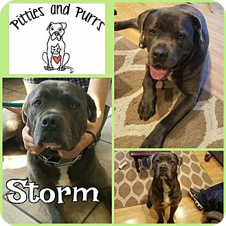 Pit Bull Terrier Mix Dog for adoption in Baltimore, Maryland - Storm