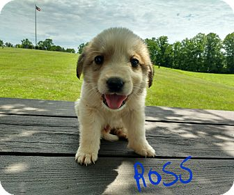 Great Pyrenees/Labrador Retriever Mix Puppy for adoption in Burlington, Vermont - Ross