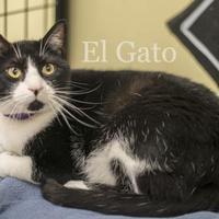 Adopt A Pet :: El Gato - West Des Moines, IA