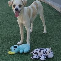 Adopt A Pet :: Yankee - Newport Beach, CA