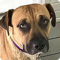 Adopt A Pet :: Rosie - Point Pleasant, PA