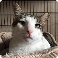 Adopt A Pet :: George - St. Louis, MO