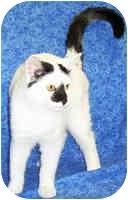 Domestic Shorthair Kitten for adoption in Murphysboro, Illinois - Royal