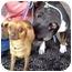 Photo 3 - American Pit Bull Terrier Mix Dog for adoption in Vista, California - Sammi
