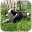 Photo 1 - Shepherd (Unknown Type)/Dalmatian Mix Puppy for adoption in Broomfield, Colorado - Tatum