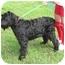 Photo 2 - Giant Schnauzer Dog for adoption in Drumright, Oklahoma - Sophia