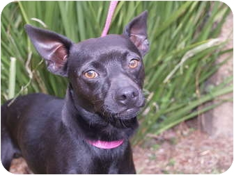 Chihuahua/Miniature Pinscher Mix Dog for adoption in El Cajon, California - Buddy