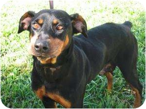Doberman Pinscher/Rottweiler Mix Dog for adoption in Fillmore, California - Sadie