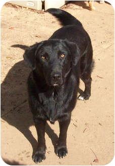 Labrador Retriever/Golden Retriever Mix Dog for adoption in Largo, Florida - JASMINE