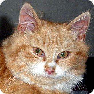 Domestic Longhair Kitten for adoption in Brimfield, Massachusetts - Melvin