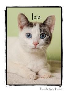 Domestic Shorthair Kitten for adoption in Warren, Pennsylvania - Isis