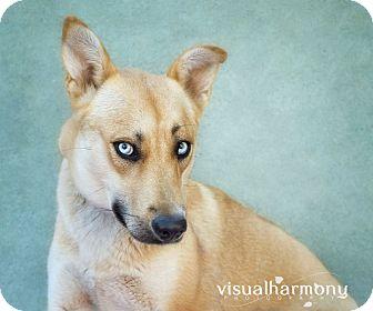 Shepherd (Unknown Type)/Husky Mix Dog for adoption in Phoenix, Arizona - Cali