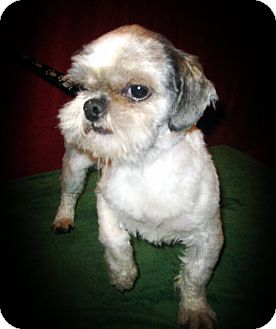 Shih Tzu Dog for adoption in Prole, Iowa - Wall-E