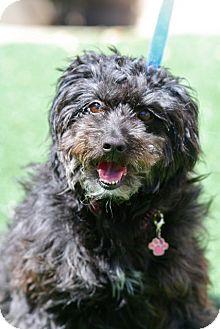 Havanese Mix Dog for adoption in Coronado, California - Dot