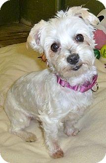 Maltese Dog for adoption in Carmel, New York - Daisy