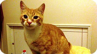 Domestic Shorthair Cat for adoption in Worcester, Massachusetts - Darren
