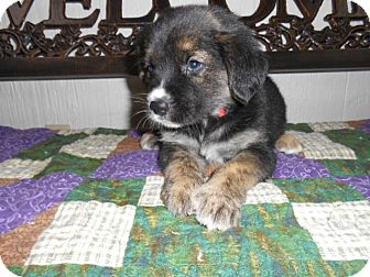 Shepherd (Unknown Type) Mix Puppy for adoption in East Hartford, Connecticut - Baloo-Adoption Pending