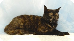 Domestic Shorthair Cat for adoption in Columbus, Nebraska - Jilly