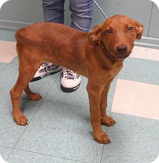 Vizsla Mix Puppy for adoption in Hammonton, New Jersey - Jazz