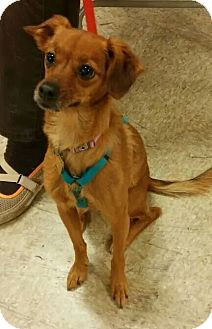 Italian Greyhound/Dachshund Mix Dog for adoption in Overland Park, Kansas - Aphrodite (Ditie)