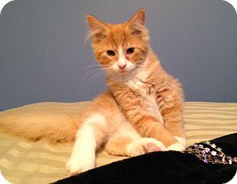 Domestic Mediumhair Kitten for adoption in LaGrange, Kentucky - BLINKIN'