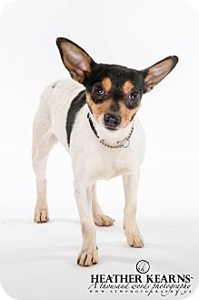 Rat Terrier Dog for adoption in Barrie, Ontario - Lizzy