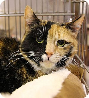 Domestic Shorthair Cat for adoption in Port Washington, New York - Chloe