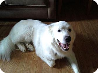 Great Pyrenees Dog for adoption in Bloomington, Illinois - Conner ADOPTED