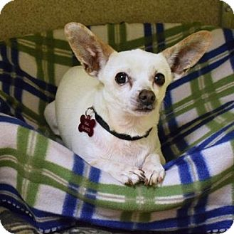 Chihuahua Mix Dog for adoption in Denver, Colorado - Mac