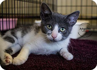 Domestic Shorthair Kitten for adoption in Charlotte, North Carolina - A..  Ida